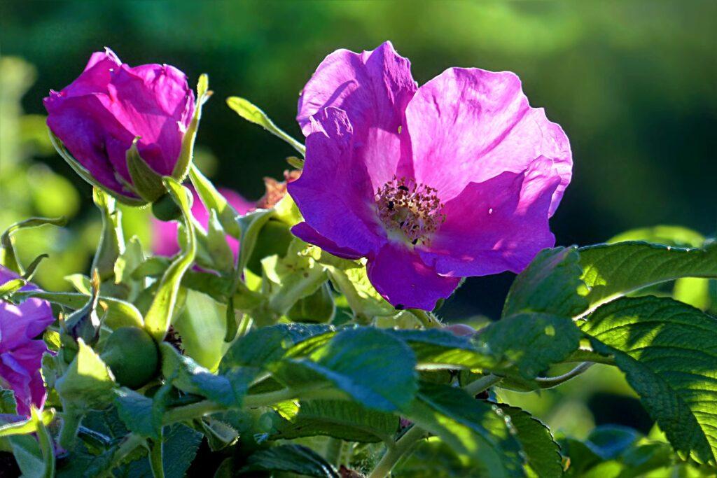 Rose (Rosa canina)